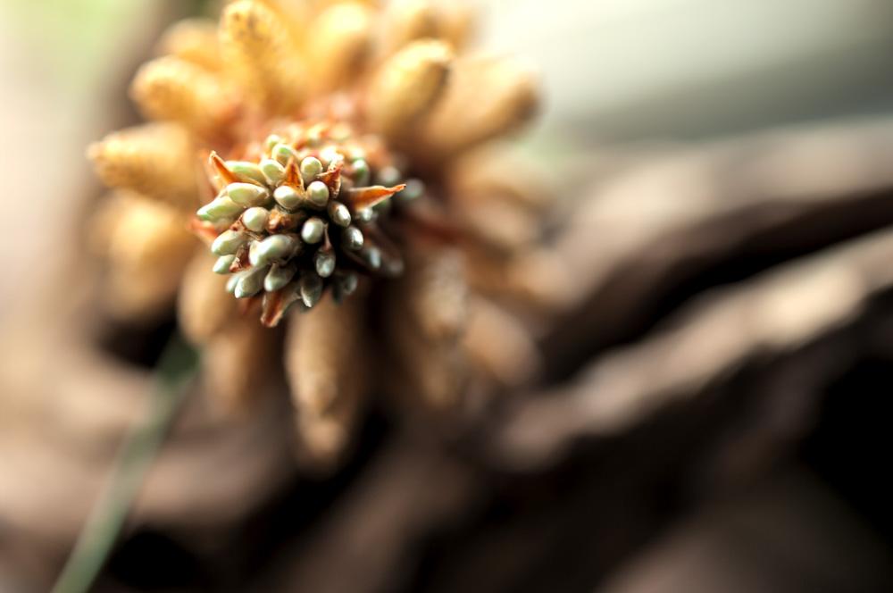 pine flowers.松树花