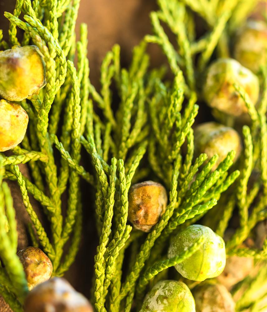 cypress fruit.柏树果